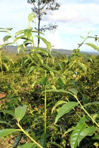 Guayusa Pflanze